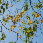 yellow leaves with green leaves against bright blue sky