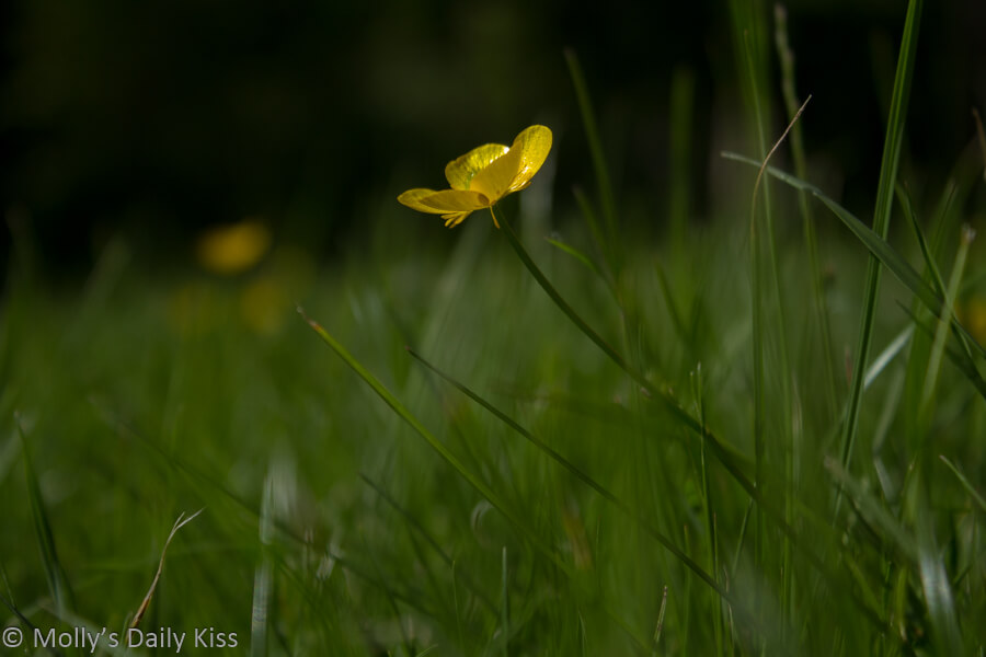 Buttercup in grass looking like a yellow star