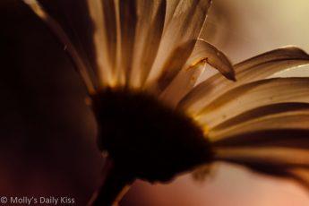 ox eye daisy with september sun