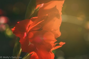 petaled red gladioli with sunlight shining through it