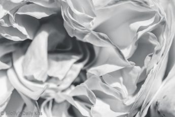 black and white macro shot of rose petals