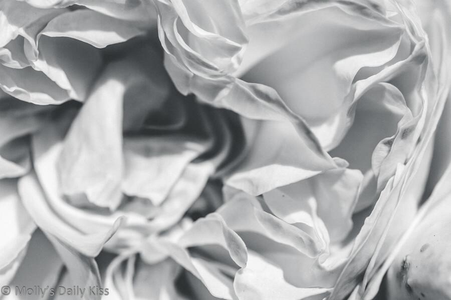 black and white macro shot of rose petals