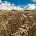 gold field of barley with blue sky and big white puffy clouds