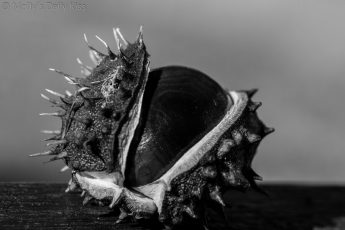 Conker Horse Chestnut emerging out of its shell in black and white. Image called Development