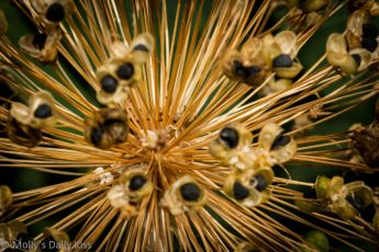 Image of tiny black seeds on stems of flower seed head. A by product of gardening