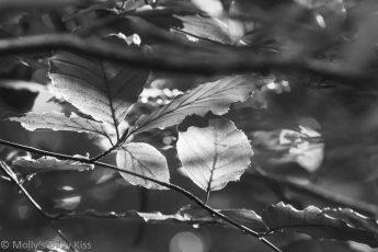 black and white image of sunlight through autmn leaves. Bittersweet