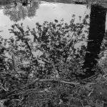 Tree reflected in muddy puddle in black and white