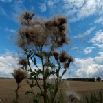Thistle seed blowing away into blue sky taken with fisheye lens