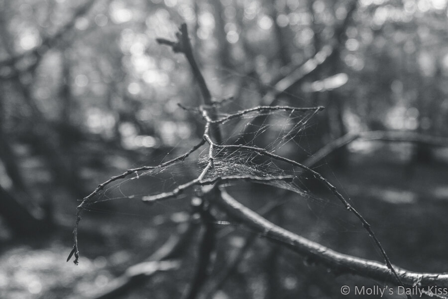 spider web for catching flies in the tree in the woods in black and white