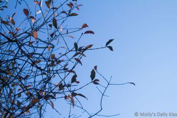 a few autumn leaves on mainly bare branches against bright blue sky