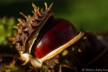Macro shot of horse chesnut in its shell. Image called probability space