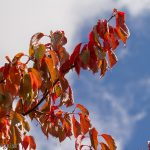 Red autumn leaves against blue sky is true autumn colours