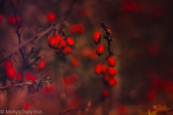 Macro shot of unrestrained beauty of red berries and thorns on winter bush
