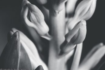 Hyacinth buds in black and white
