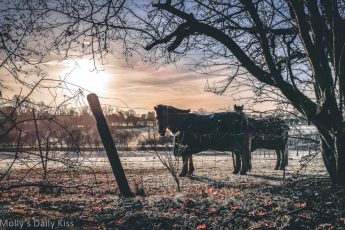 Horses in frost covered field at sunrise