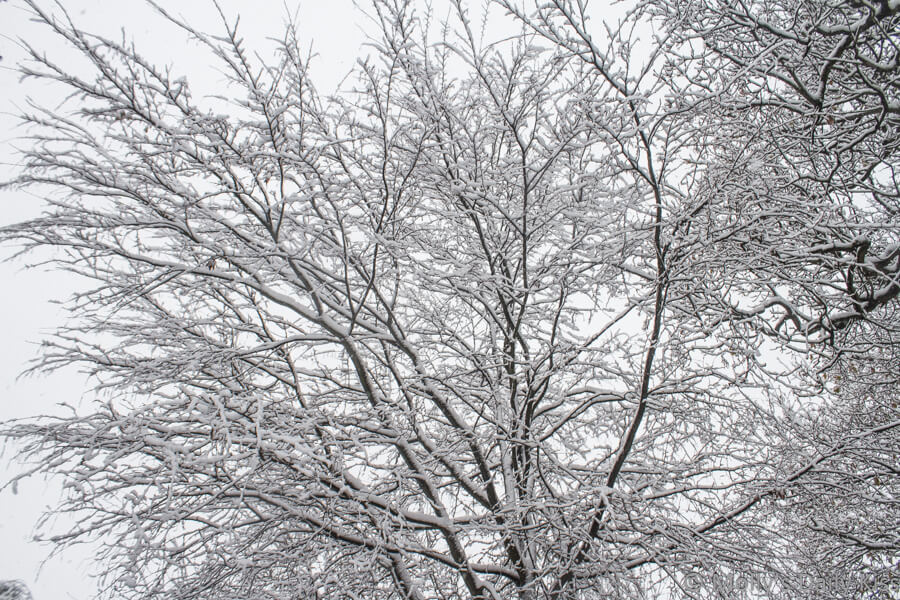 bare branched trees covered in snow