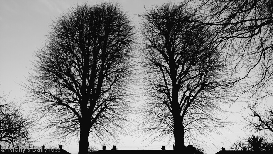 Silhouette of twin winter trees above the rooftops of houses