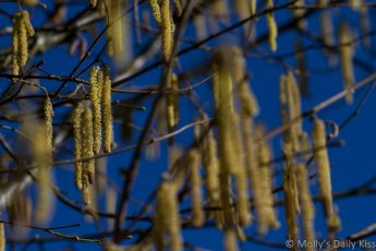 catkins hanging from branches against bright blue winter sky