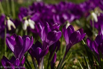purple crocus in spring sunlight is a gift from nature