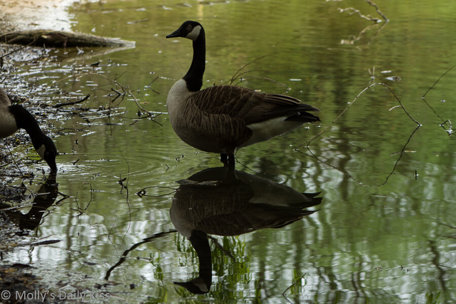Goose reflected in water