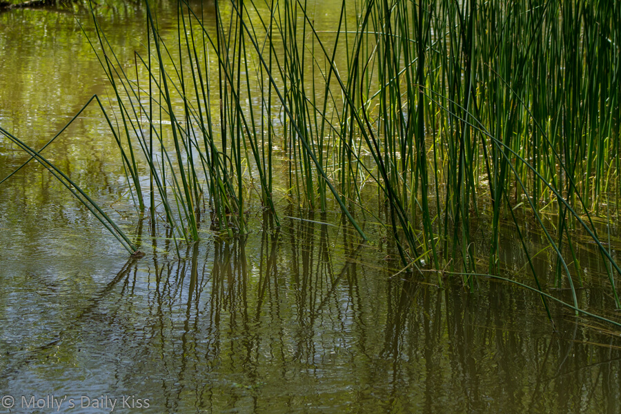 reeds reflected in the water