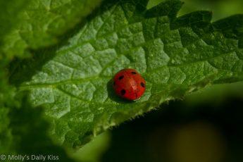 Ladybird sitting on a leaf is a black-hooded lady