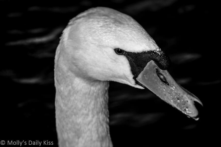 black and white image of a majestic swan