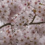 clouds of pink blossom is the breath of spring
