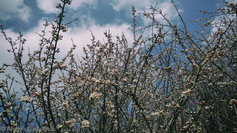 white fluffy blossom against blue sky