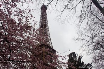 Looking through spring blossom uo at the eiffel tower