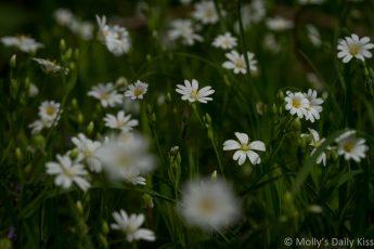 tiny white spring flowers
