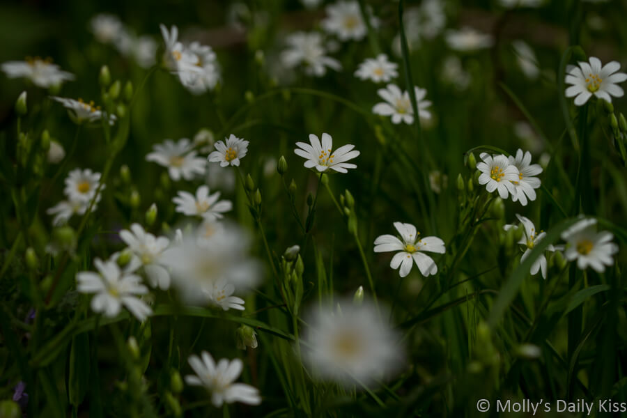 tiny white spring flowers