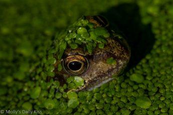 Jeremy Fisher Frog peeking up through green weed