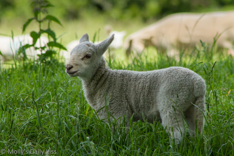 little white baa lamb in green field