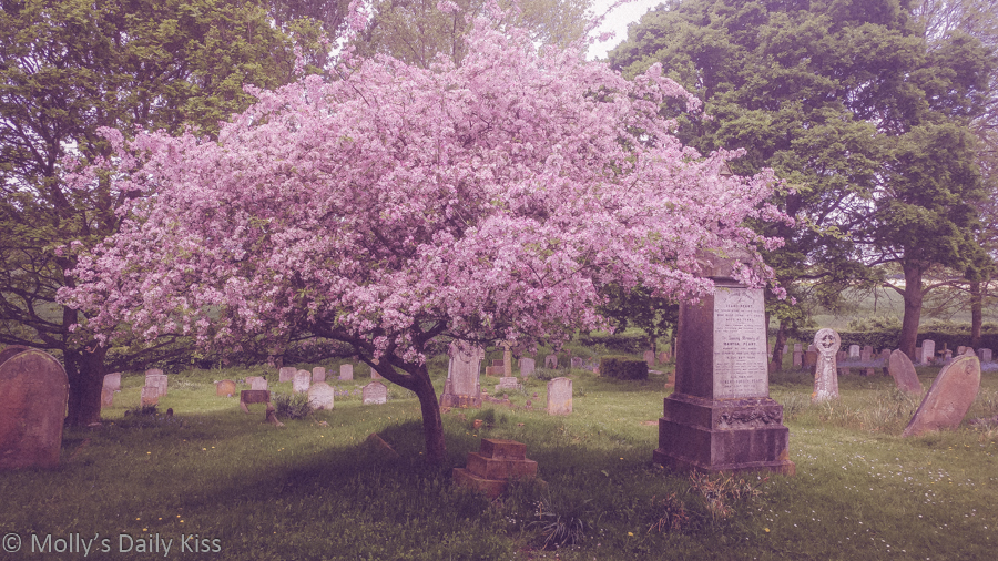 Behold sping time blossom in graveyard