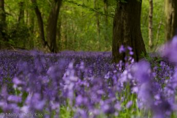 Bluebells in the woods are like a carpet of blue angels