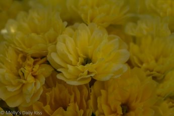 small yellow banksia roses