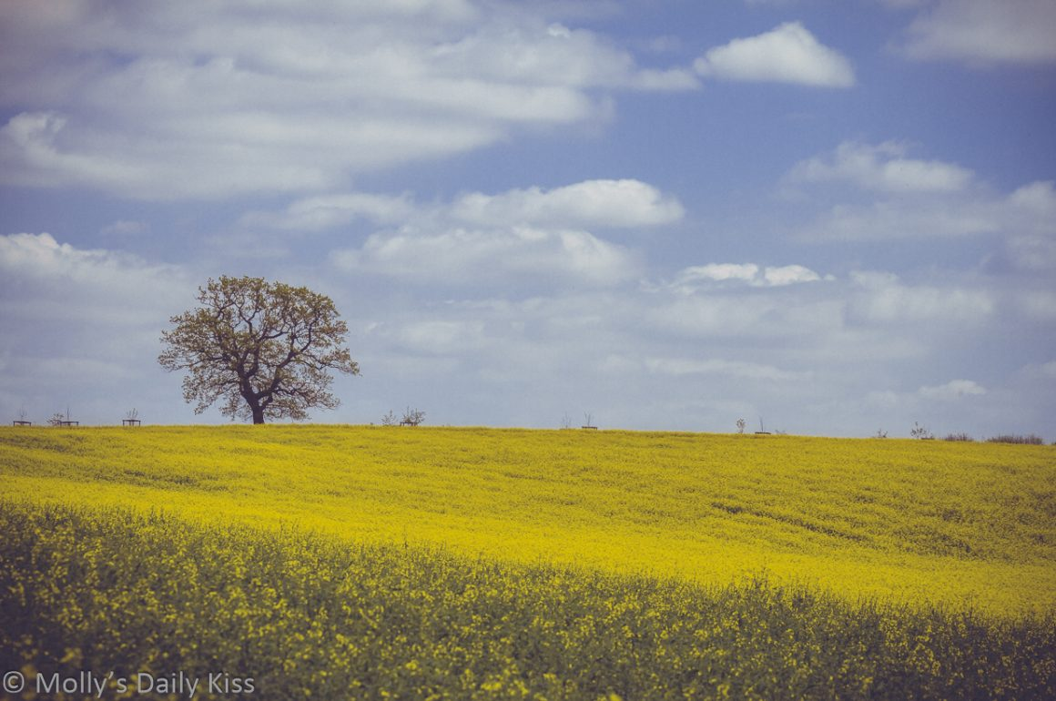yellow rape seed in field with one tree and blue skies with white puffy clouds