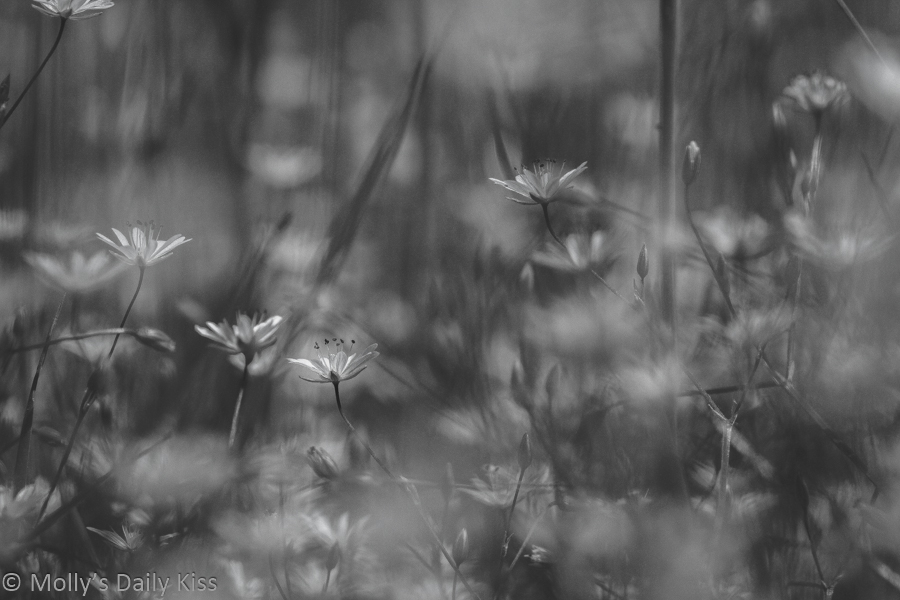 Little white meadow flowers in black and white are natures jewels