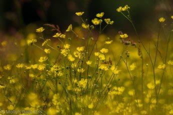 buttercups in a field