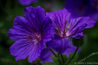 Johnson Blue geraniums are Petal'd poetry