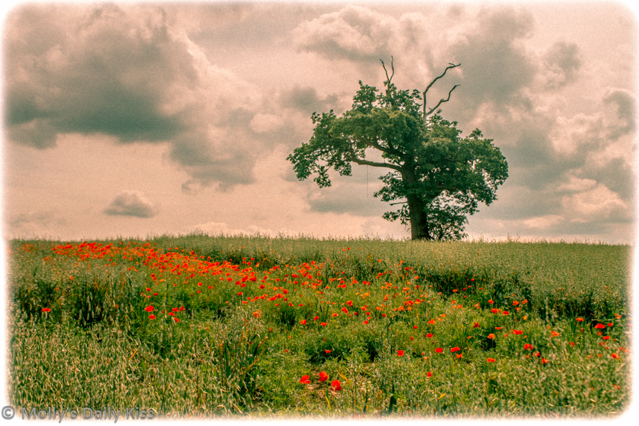 poppies in a field with lone tree edited to look like a vintage postcard