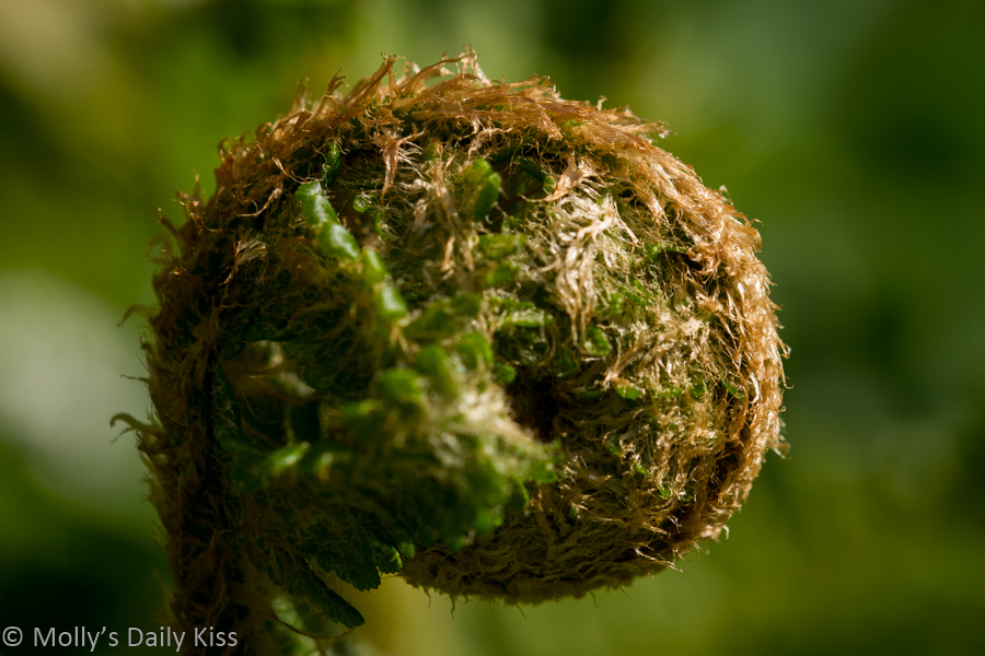 macro shot of fern head unfurling
