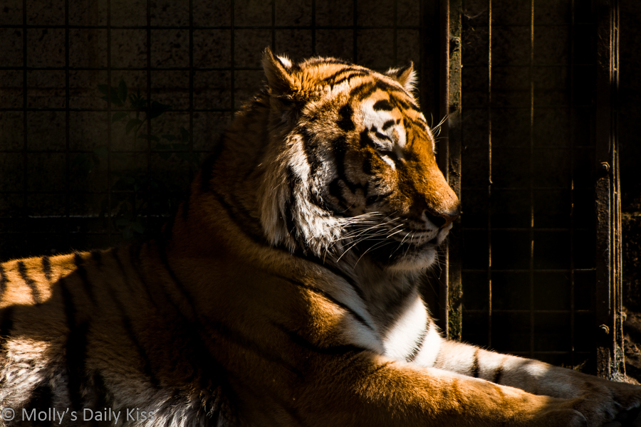 tiger sitting in the sunshine has tigritude
