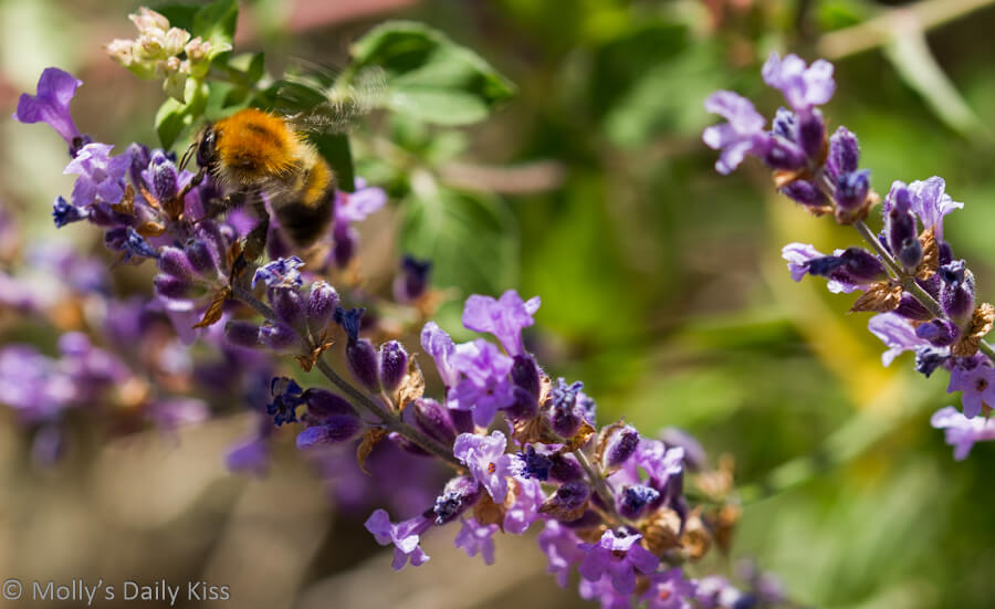 busy bee on purple lavender