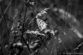 black and white of butterfly in wild grass