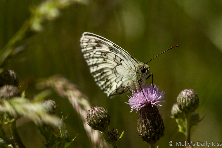 White butterfly is a flying flower on purple thistle head flower