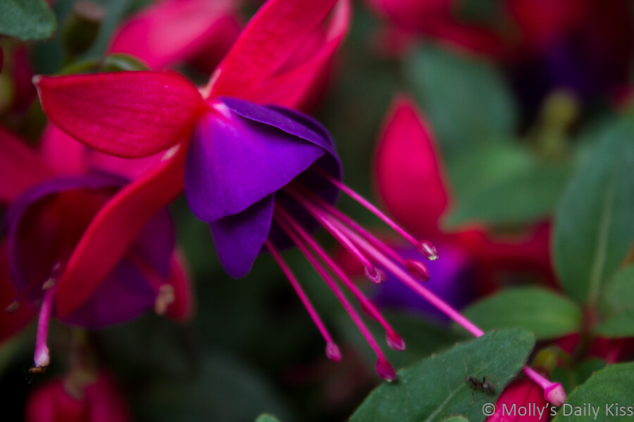 purple and red fushia