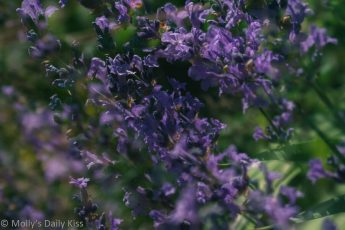 Double exposure shot of blue lavender