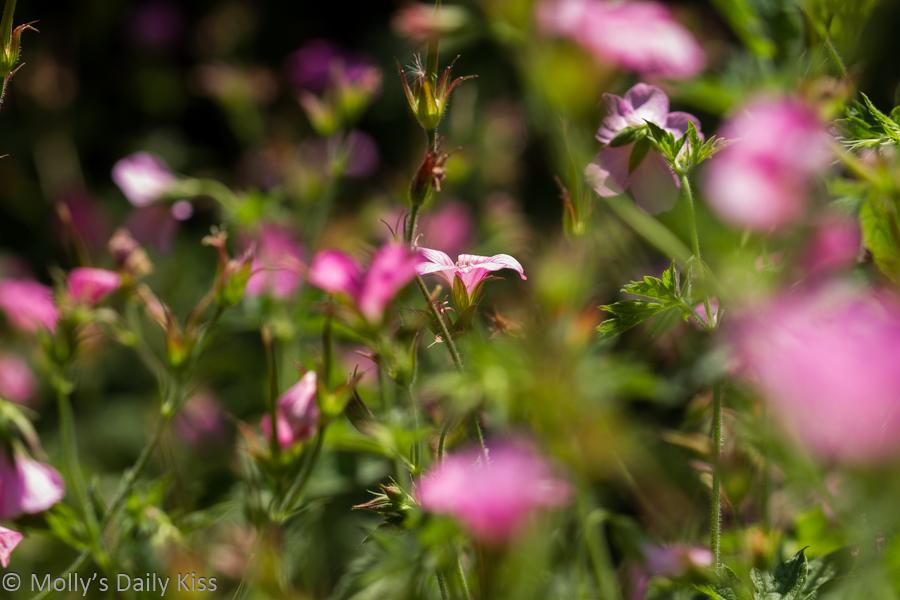 Pink geranuims are beautiful summer flowers
